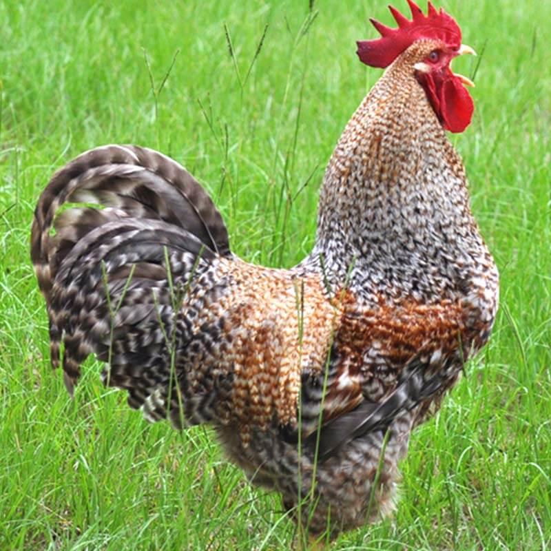 bielefelder-kennhuhn-chicken