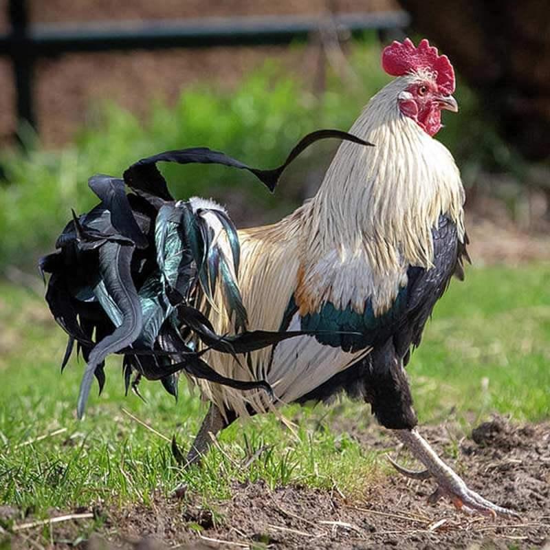 phoenix-chicken